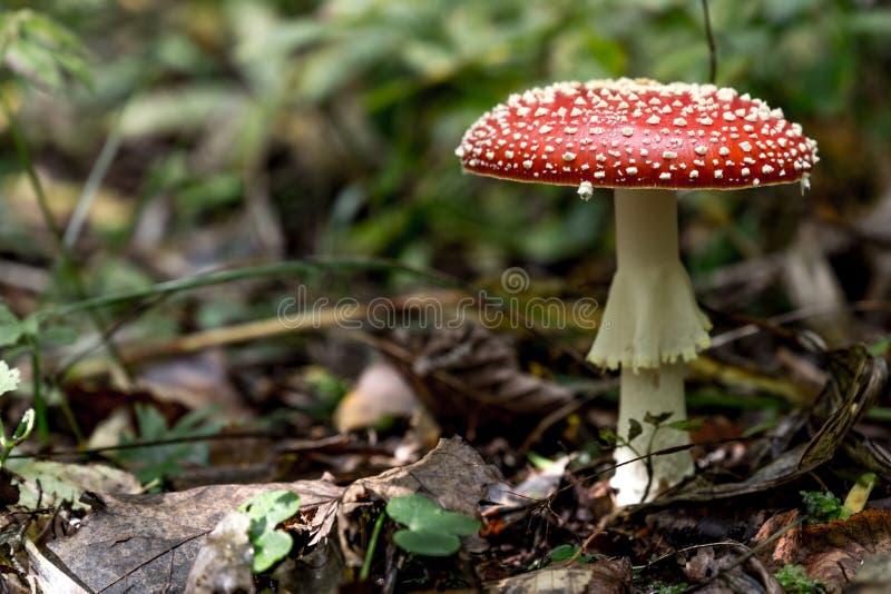 Fim de Muscaria do amanita do cogumelo acima fotos de stock royalty free