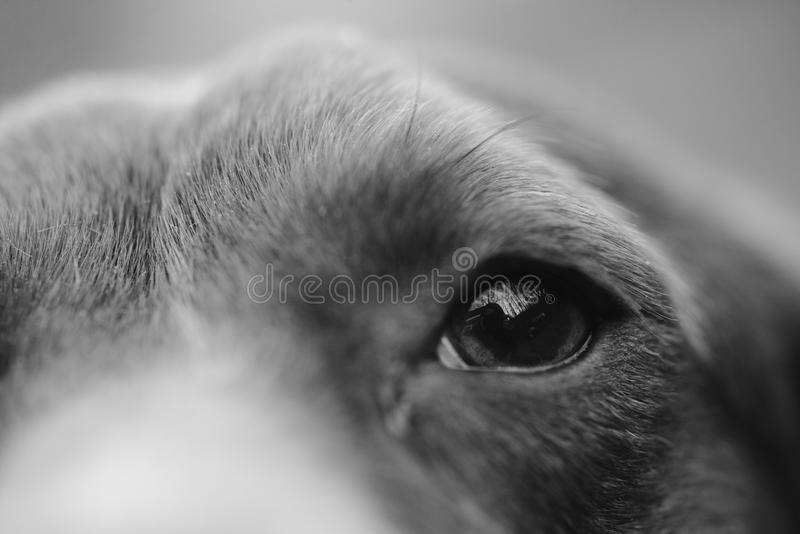 Fim de Potrait acima do olho do cão do lebreiro foto de stock