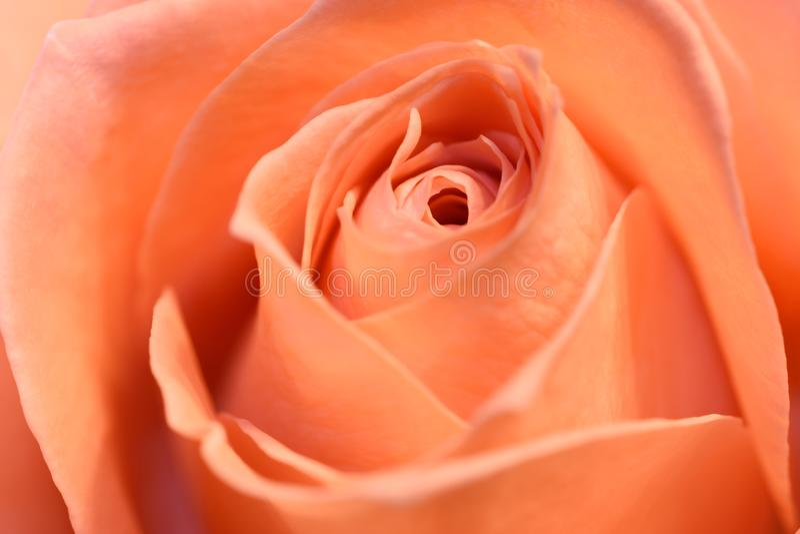 Fim de Rosa acima imagens de stock royalty free