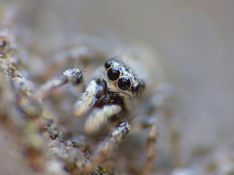 Fim de salto da aranha do inseto acima do macro fotografia de stock royalty free