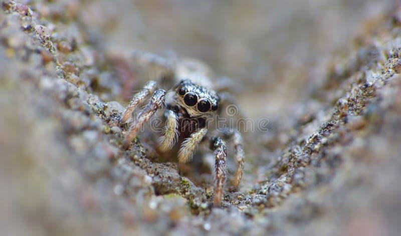 Fim de salto da aranha do inseto acima do macro fotos de stock royalty free