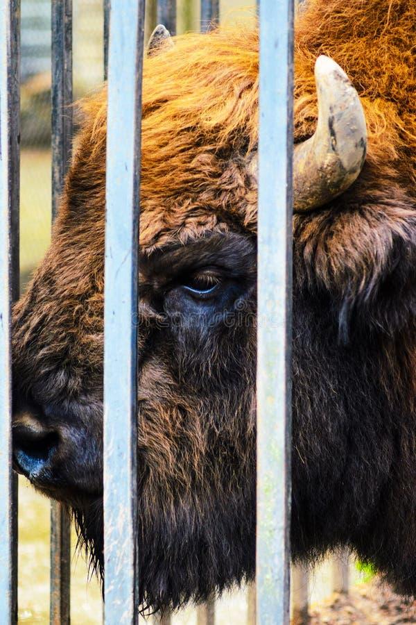 Fim do bisonte acima do retrato no jardim zoológico Bonasus do bisonte imagens de stock