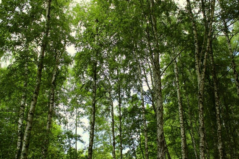 Fim do bosque do vidoeiro acima Tiro colhido de Forest Abstract Nature Background fotografia de stock royalty free