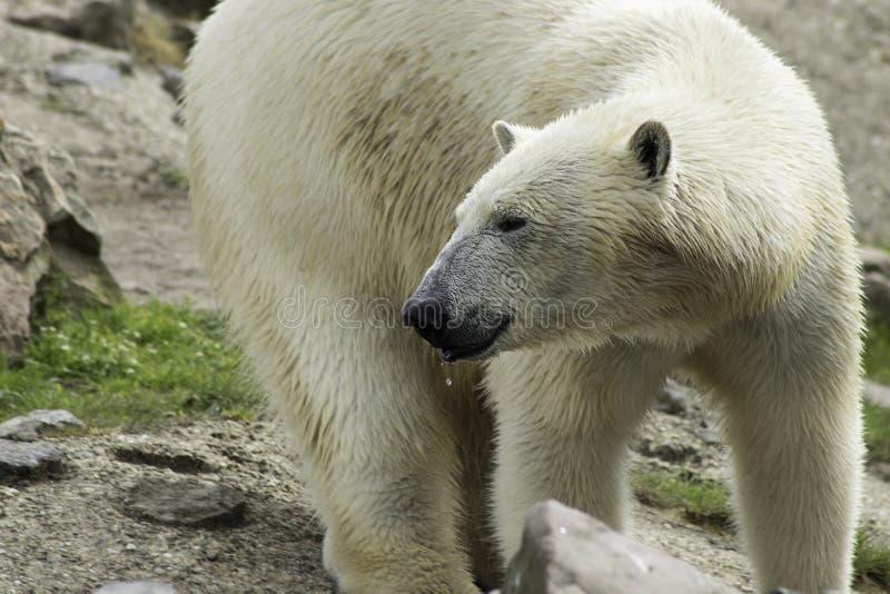 Fim do branco do portret do urso polar acima imagens de stock royalty free