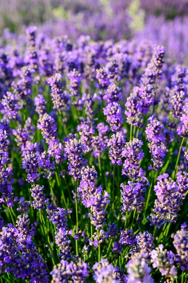 Fim do campo de flor da alfazema acima do detalhe nas horas de verão fotografia de stock