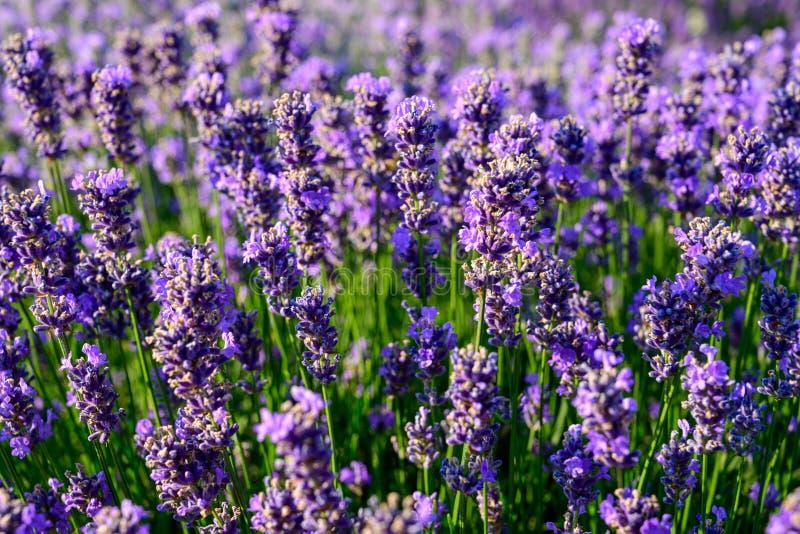 Fim do campo de flor da alfazema acima do detalhe nas horas de verão imagens de stock