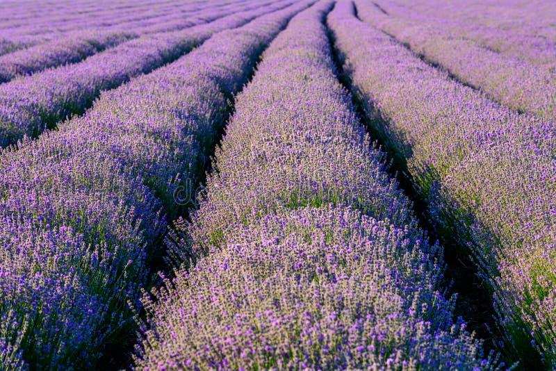 Fim do campo de flor da alfazema acima do detalhe nas horas de verão foto de stock royalty free
