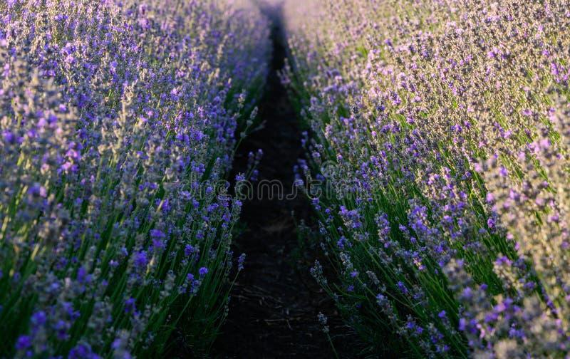 Fim do campo de flor da alfazema acima do detalhe nas horas de verão fotos de stock royalty free