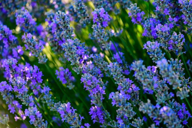 Fim do campo de flor da alfazema acima do detalhe nas horas de verão imagem de stock