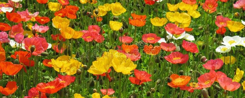 Fim do campo de flor da papoila acima fotografia de stock