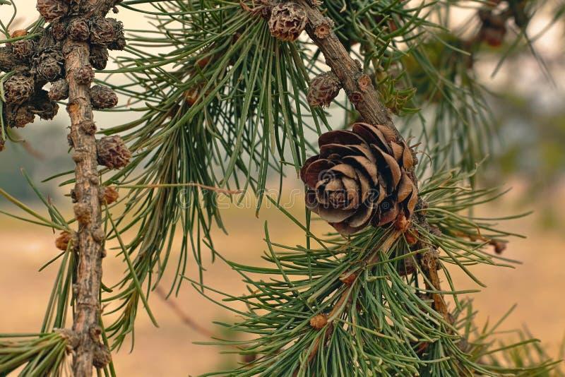Fim do cone do pinheiro acima da árvore siberian fotografia de stock