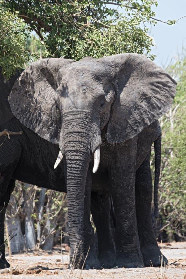 Fim do elefante africano acima, parque nacional do chobe, botswana, África imagens de stock royalty free