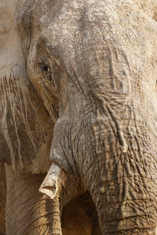 Fim do elefante africano acima & pessoal imagens de stock