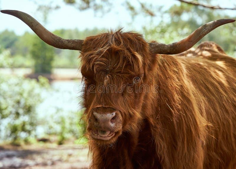 Fim do escocês de Scottisch acima fotos de stock royalty free