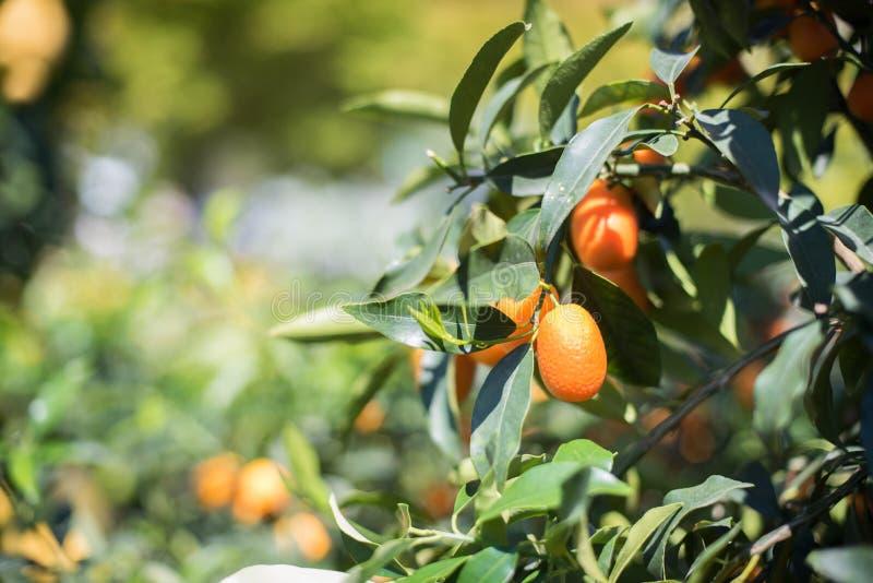 Fim do fruto do Kumquat acima no ramo de árvore verde imagem de stock royalty free