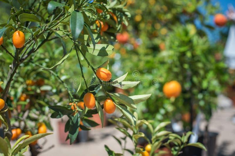 Fim do fruto do Kumquat acima no ramo de árvore verde fotografia de stock royalty free