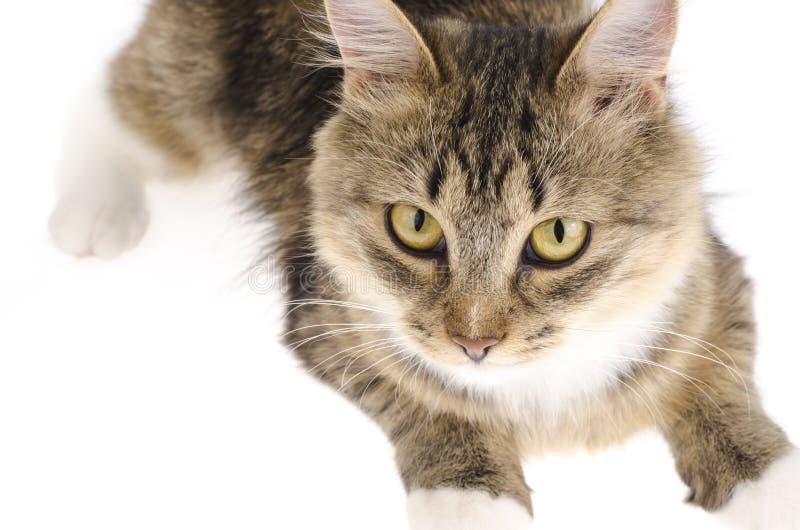 Fim do gato doméstico acima no fundo branco fotografia de stock