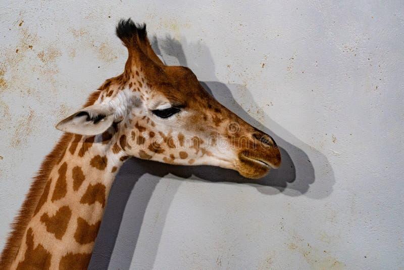 Fim do girafa de Tanzânia acima do retrato isolado no branco imagens de stock