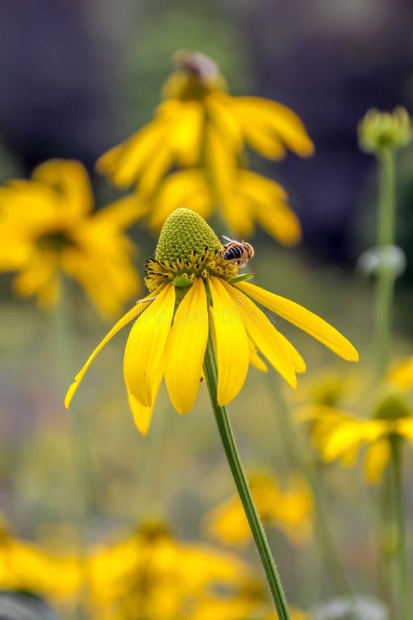 Fim do hirta do Rudbeckia dos olhos irlandeses de Rudbekia 'acima e uma abelha foto de stock royalty free