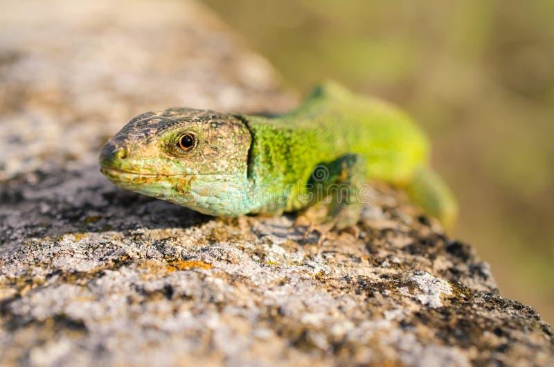 Fim do lagarto verde acima imagens de stock