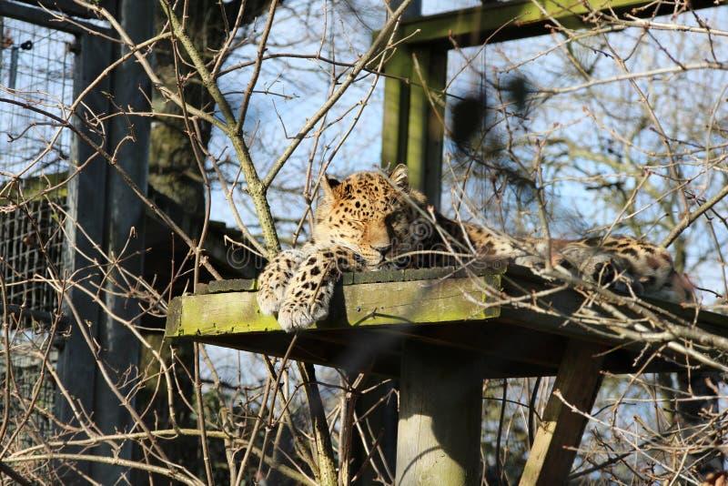Fim do leopardo acima do sono em uma plataforma na árvore fotos de stock royalty free
