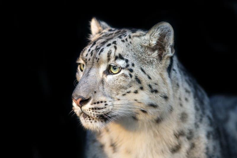 Fim do leopardo de neve acima do retrato imagem de stock