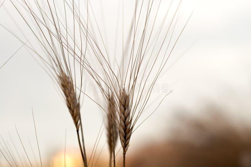Fim do milho três acima no nascer do sol foto de stock royalty free