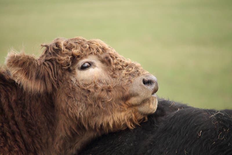 Fim do perfil do retrato acima da vaca bonito do bebê do marrom escuro que procura pela ternura de sua mãe imagem de stock royalty free