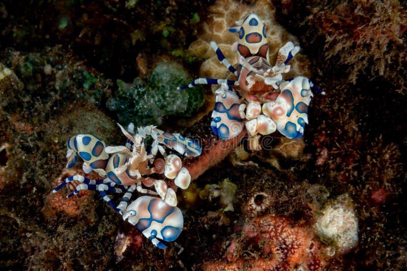 Fim do picta dos elegans do hymenocera do camarão do arlequim acima imagem de stock royalty free