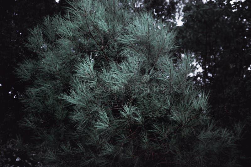 Fim do pinheiro acima dos ramos do abeto Fundo do Natal fotografia de stock