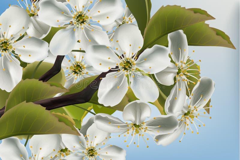 Fim do ramo das flores da cereja acima do vetor realístico Ilustrações bonitas do fundo 3d da mola ilustração do vetor