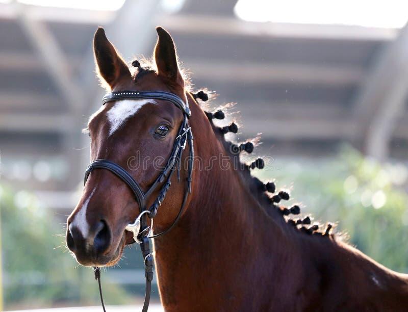 Fim do retrato da vista lateral acima de um cavalo bonito do esporte no natura fotos de stock