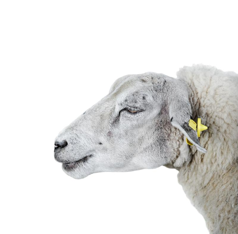 Fim do retrato dos carneiros acima Carneiros peludos novos de Beauriful isolados no fundo branco Animais de explora??o agr?cola imagem de stock