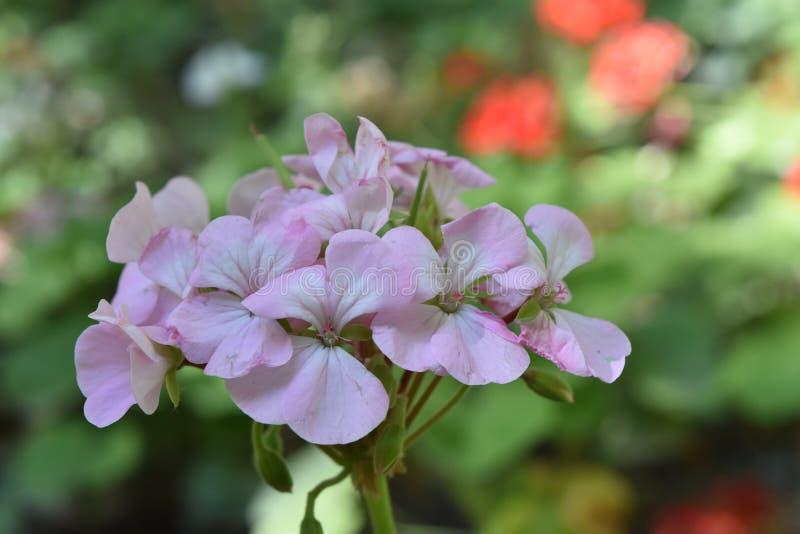 Fim do roxo e a branca da flor acima em um jardim imagem de stock royalty free