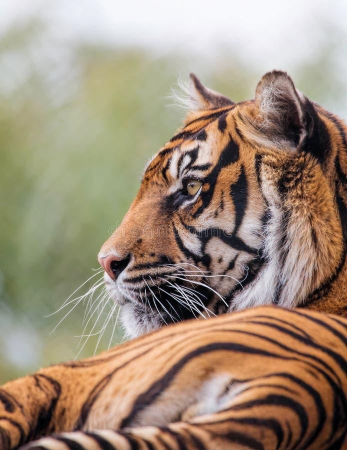 Fim do tigre de Sumatran acima Animal criticamente posto em perigo fotos de stock royalty free