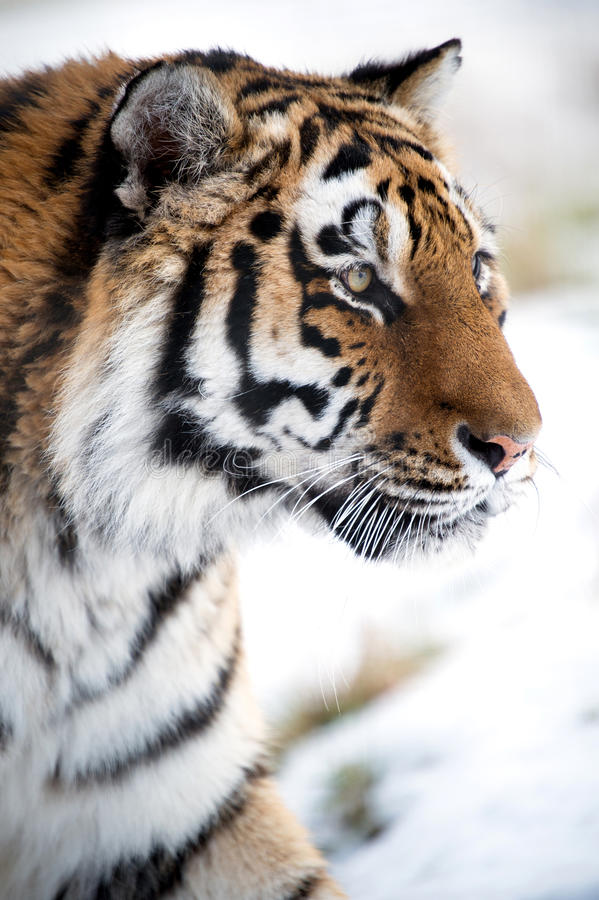 Fim do tigre Siberian acima fotos de stock