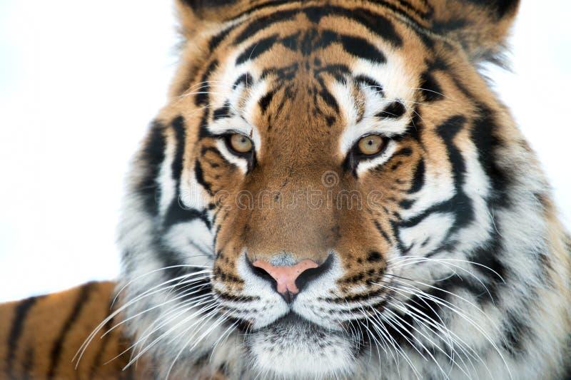 Fim do tigre Siberian acima fotografia de stock royalty free