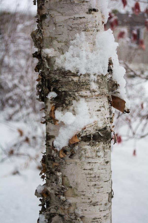 Fim do tronco de árvore do vidoeiro que mostra acima a casca na neve fotografia de stock royalty free