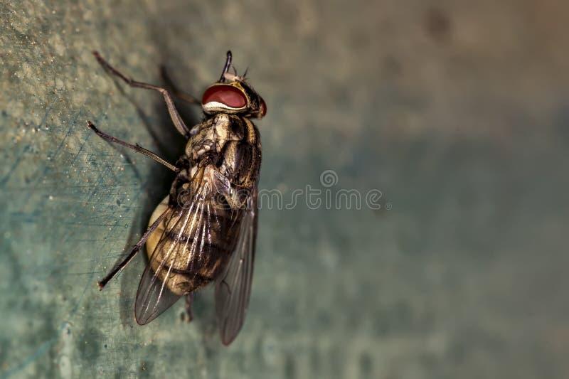 Fim doméstico do extremo da mosca acima da foto - voe a foto vermelha do macro dos olhos fotos de stock