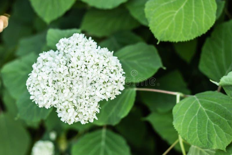 Fim dos arborescens da hortênsia das bolas das flores brancas acima no fundo borrado fotografia de stock royalty free