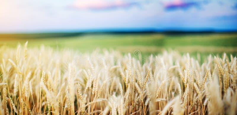 Fim dourado do trigo das orelhas do campo de trigo wallpaper fotografia de stock royalty free