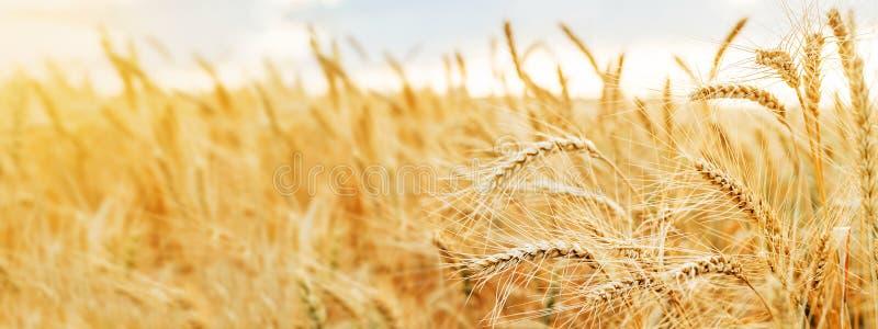 Fim dourado do trigo das orelhas do campo de trigo wallpaper foto de stock