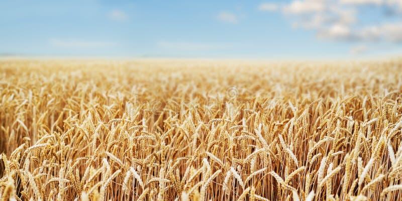 Fim dourado do trigo das orelhas do campo de trigo wallpaper fotos de stock royalty free