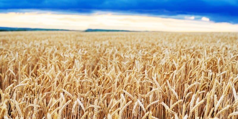 Fim dourado do trigo das orelhas do campo de trigo wallpaper fotografia de stock