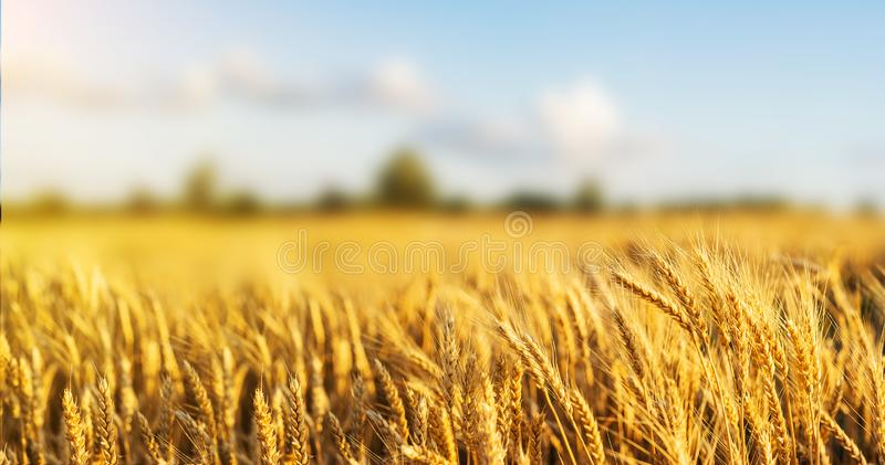 Fim dourado do trigo das orelhas do campo de trigo wallpaper fotografia de stock