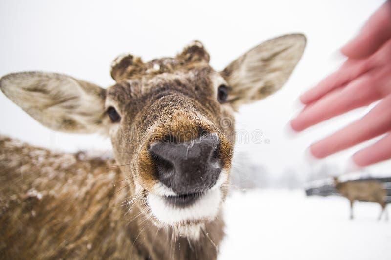 Fim engraçado dos cervos do focinho acima imagens de stock