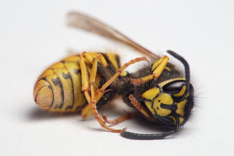 Fim europeu da vespa acima imagem de stock