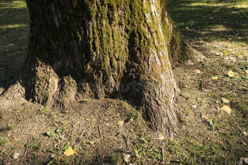Fim exterior de Forest Park do verão musgoso velho da planta das raizes da casca do carvalho acima do fundo de madeira da textura fotografia de stock