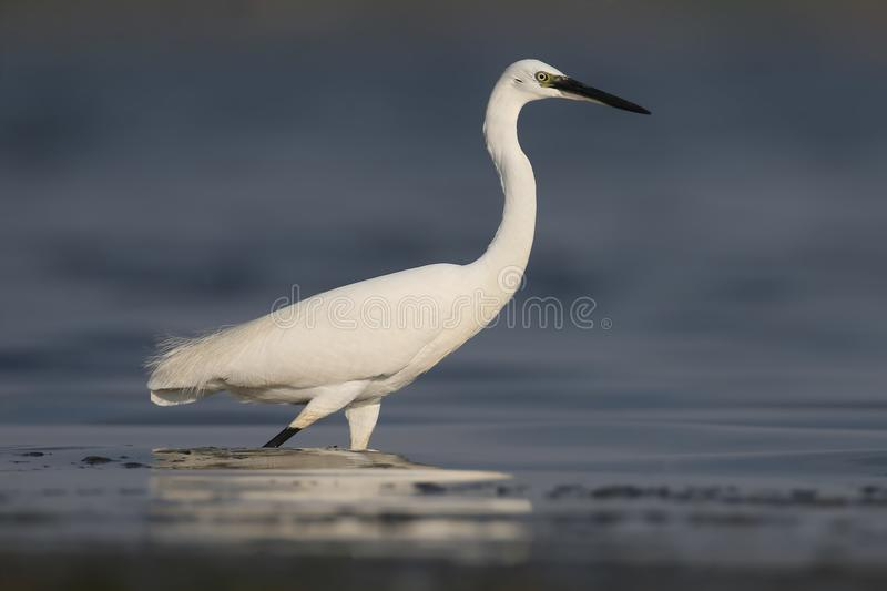 Fim extra acima do retrato do egret pequeno imagem de stock royalty free