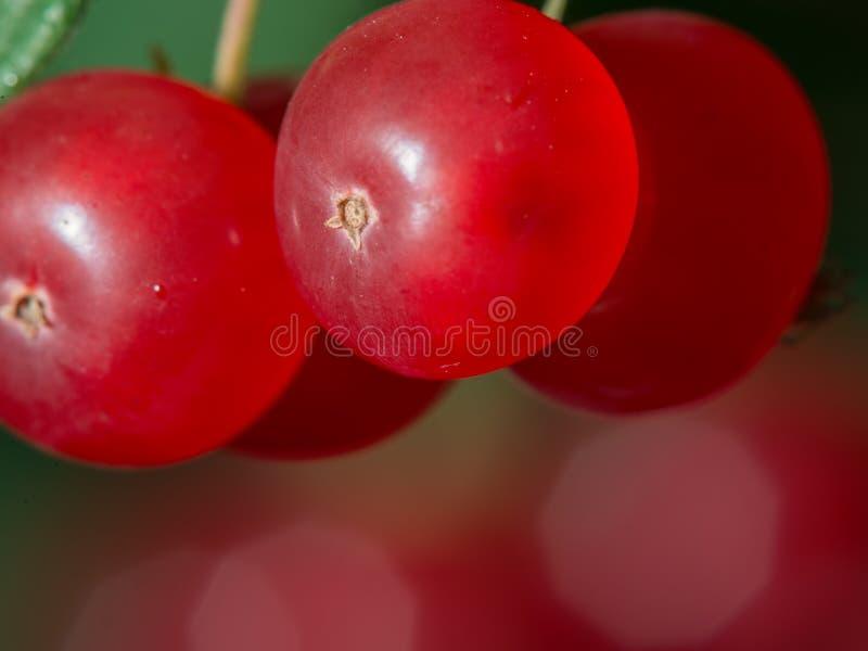 Fim extremo acima de bagas vermelhas de um arbusto com bokeh consideravelmente obscuro de mais bagas no fundo - grande detalhe ma fotografia de stock royalty free